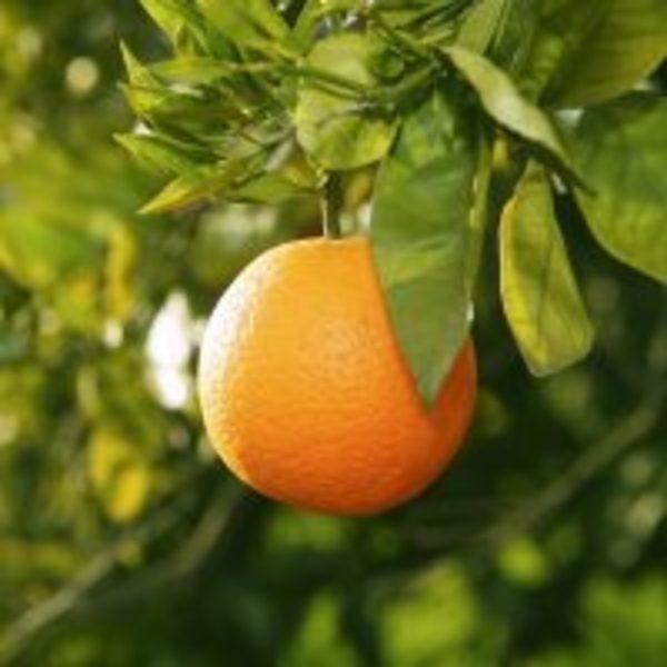 ダイエット精油の効能*グレープフルーツかオレンジ精油か?
