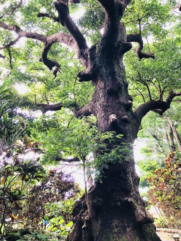 神が降りる樹齢200年のオオアカギ*100年人生ライフシフト